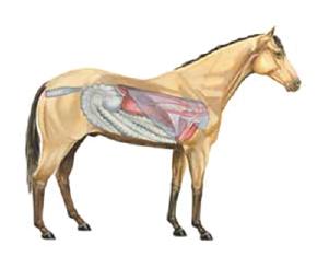 horse organs image