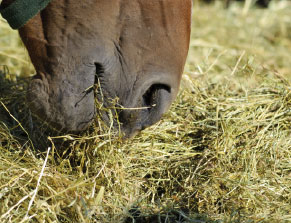 Close-up of a horse eating hay