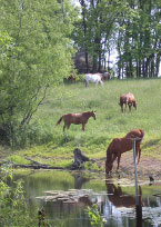 horses by a river